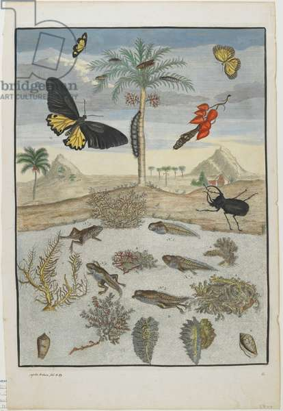 Insects and Fish with Island Background, 1705-71 (hand-coloured etching & engraving)