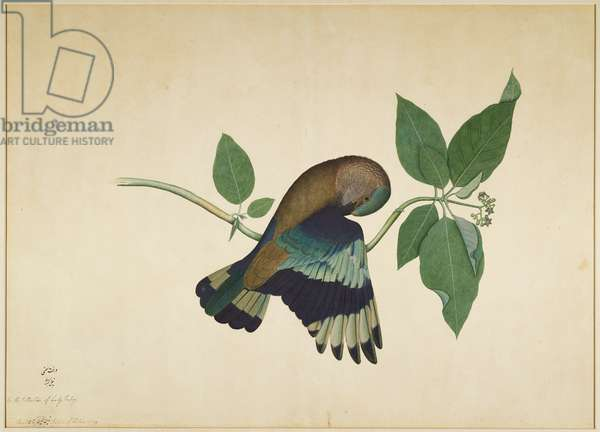 Indian Roller on Sandalwood Branch, folio from a Series Commissioned by Lady Impey, 1779 (opaque colours & ink on paper)