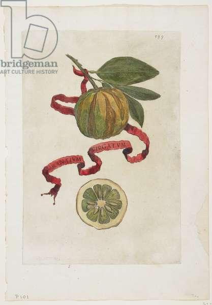 Aurantium Virgatum, from Hesperides, 1646 (coloured engraving)