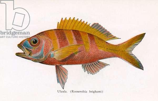 Ulaula, Fishes of Hawaii
