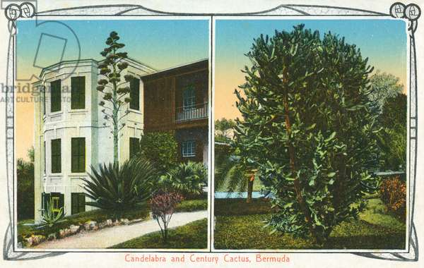 Candelabra and Century Cactus, Bermuda