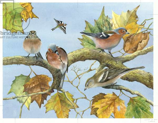 Chaffinches in Beech Tree
