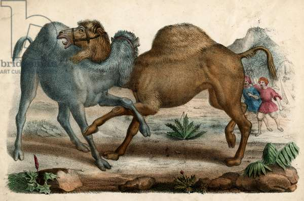 CAMELS FIGHTING C1845