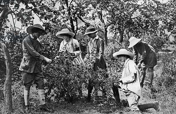 Women picking fruit in Kent during World War One, 1916