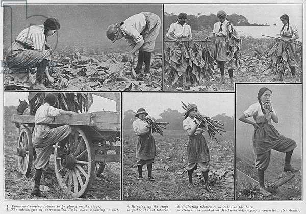 Women working on a tobacco farm, Norfolk, WW1