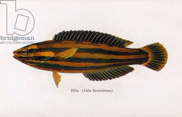 Hilu, Fishes of Hawaii
