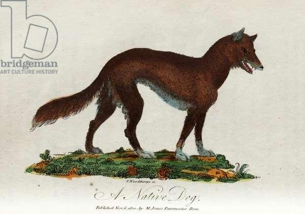 A native dog