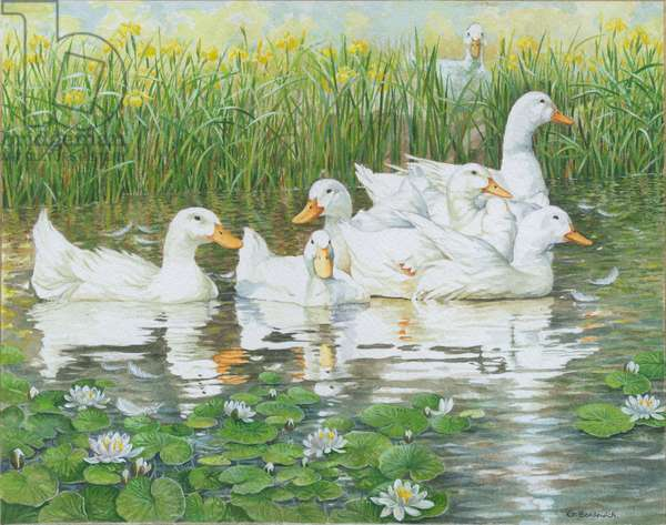 Aylesbury Ducks with water lilies and water irises