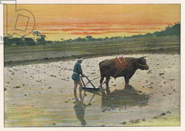 JAPAN RICE FARMING 1890S