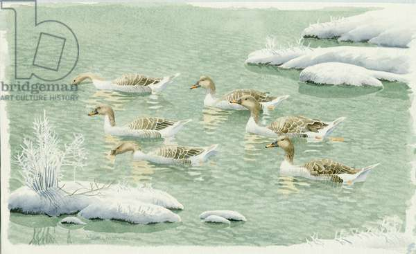 Bean Geese in water with snow