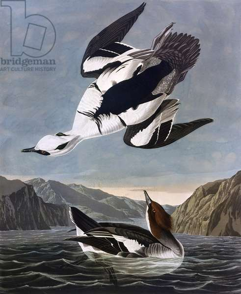Smew, or White Nun, by John James Audubon