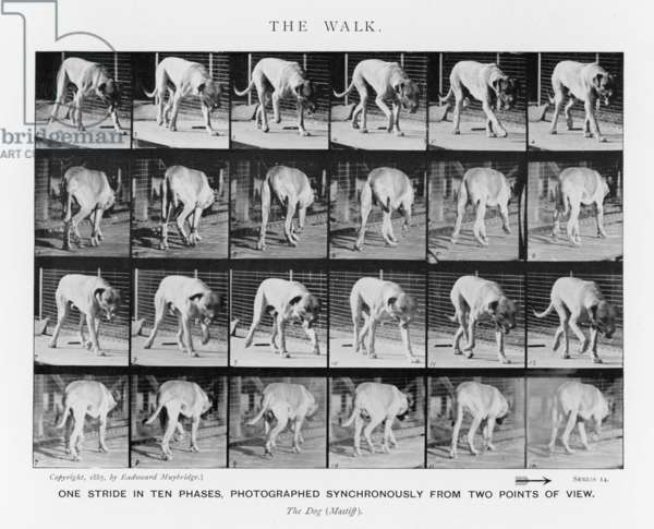 MUYBRIDGE - DOG WALK