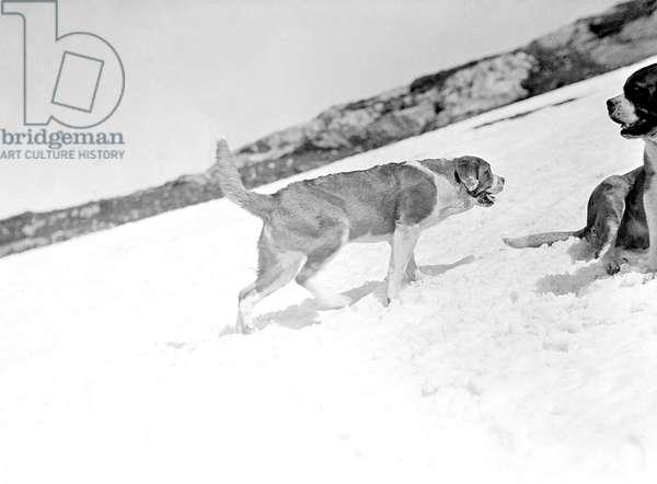 ST. BERNARD DOGS IN SNOW