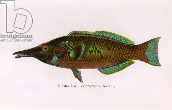 Hinalea Iiwi, Fishes of Hawaii