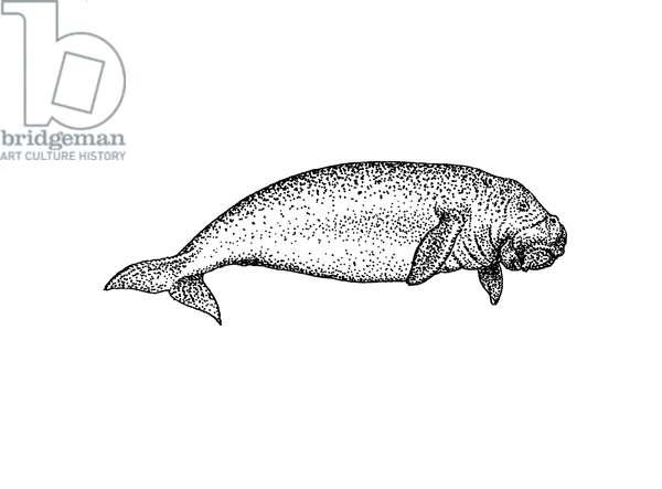 Dugong dugon, dugong