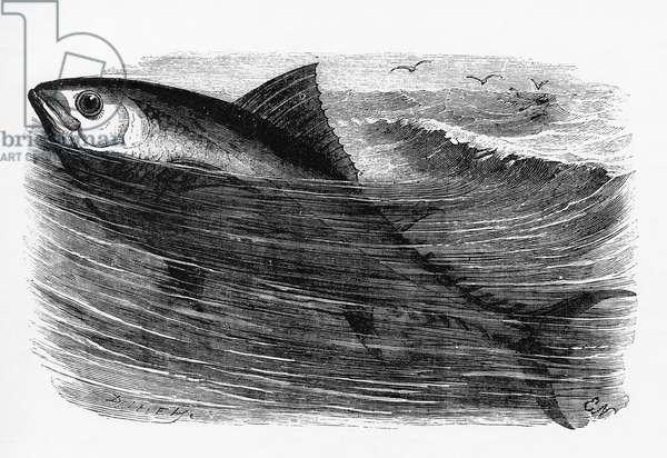 A tunny or tuna fish.