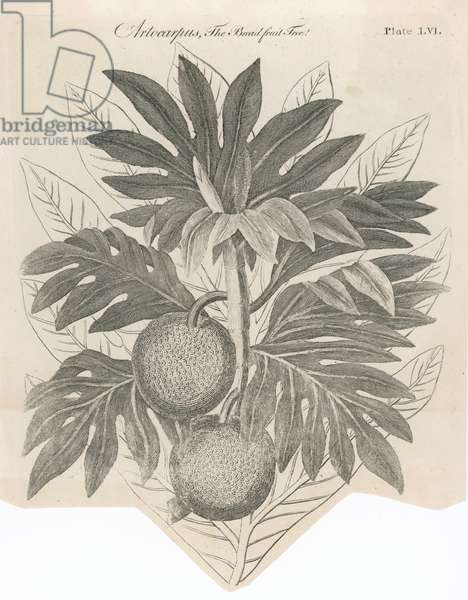 PLANTS/ARTOCARPUS INCISA