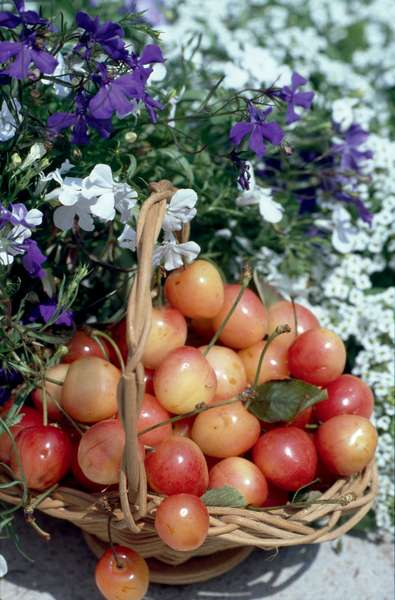 Basket of Cherries with flowers