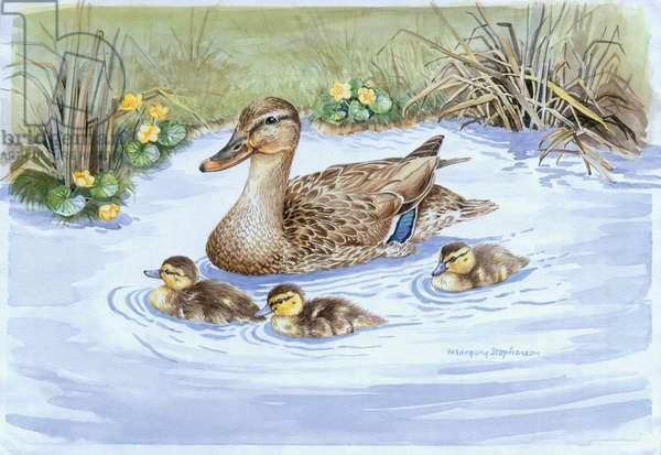 Mallard and Ducklings Swimming