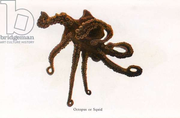 Octopus or Squid, Fishes of Hawaii