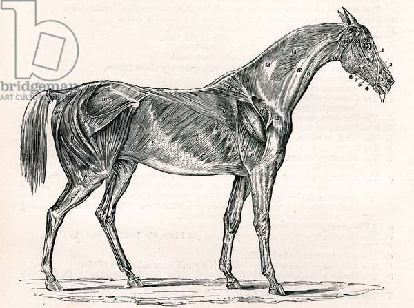 Muscles of Horse
