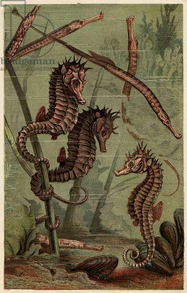 SEA-HORSES & PIPE-FISH