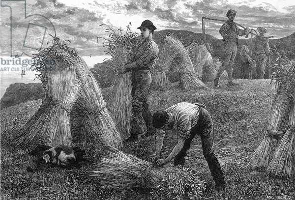 HARVESTING CORN 1877