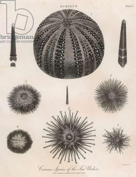 SEA URCHINS 1803