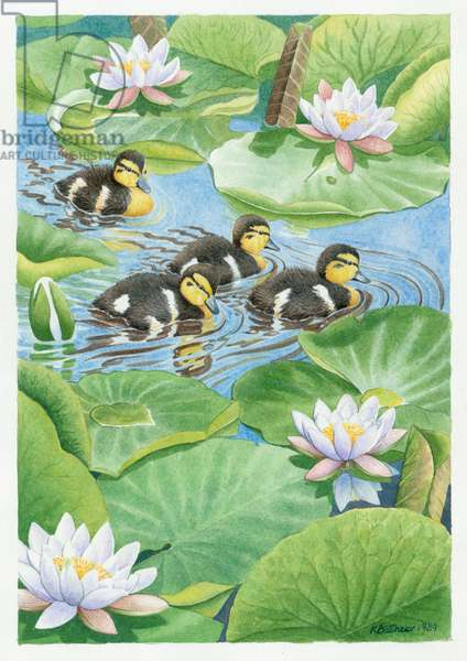 Four Mallard Ducklings swimming amongst Water Lilies