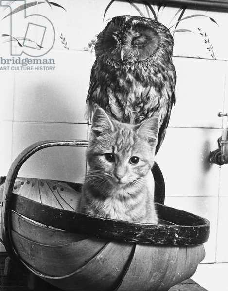 The Owl and the Kitten