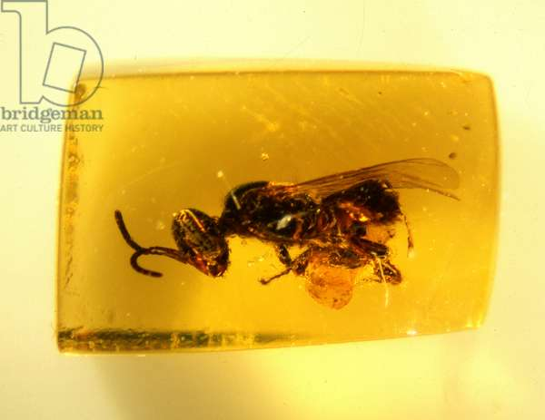 Bee in Dominican amber