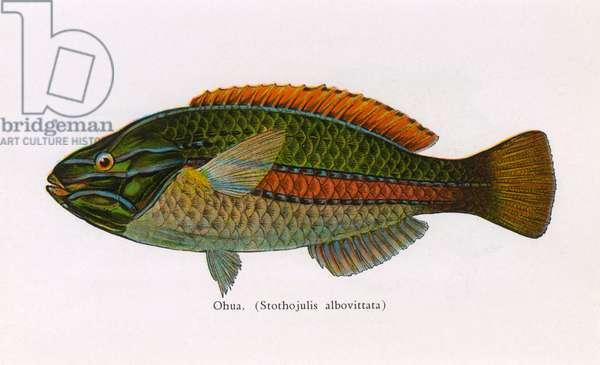 Ohua, Fishes of Hawaii