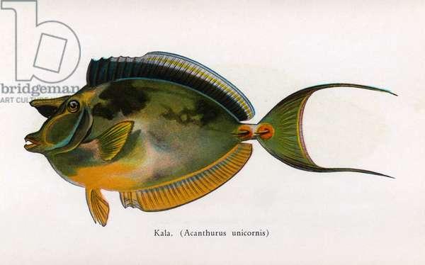 Kala, Fishes of Hawaii