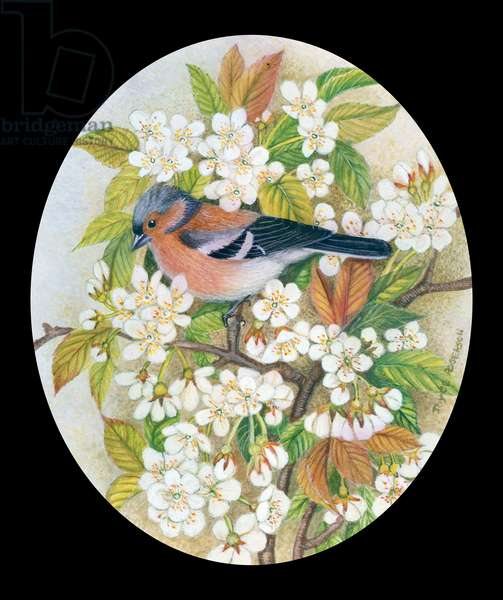 Chaffinch on Blossom