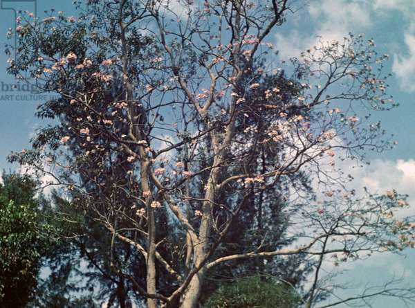 Cassia tree - Rangoon