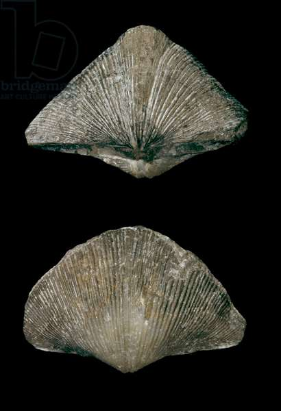 Spirifer striatus, brachiopod