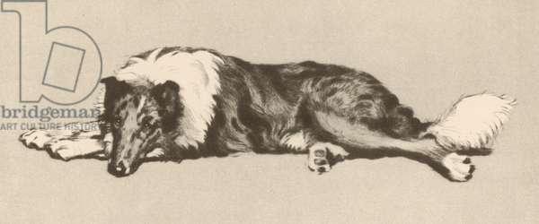 COLLIE DOG ALDIN 1933