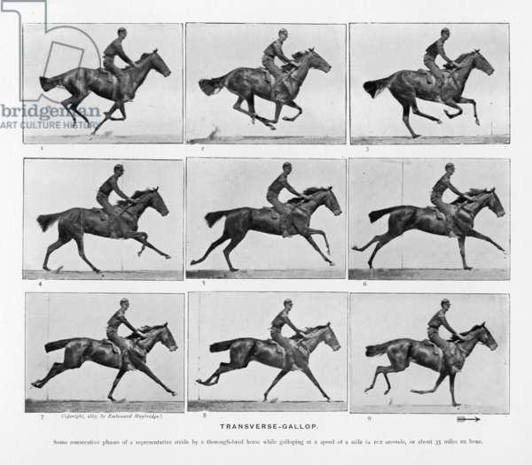 MUYBRIDGE/HORSES GALLOP