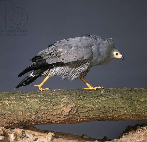 Polyboroides typus, African harrier-hawk