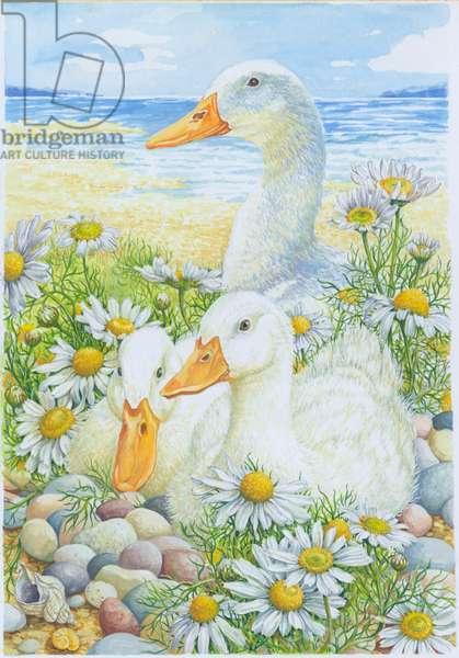 Ducks Resting in Sea-Mayweed
