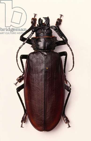 Titanus giganteus, South American longhorn or titan beetle
