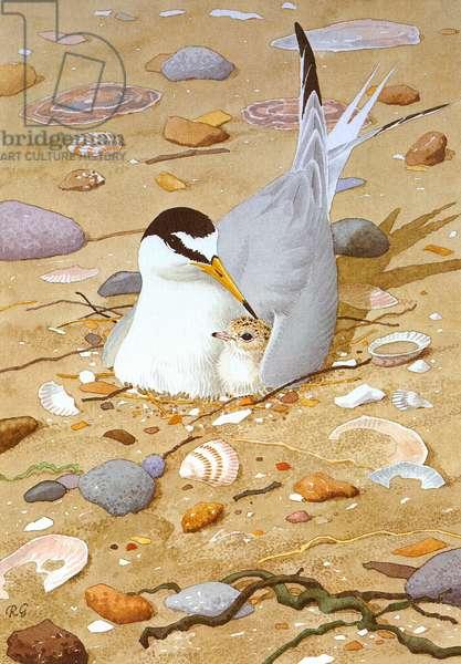 BIRDS/TERNS/LITTLE TERN