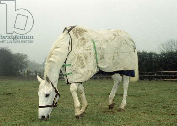 Retired racing legend 'Desert Orchid' out in his field with his new filly 'Gemini', 12th January 1992