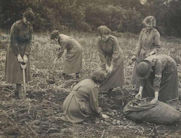 Photograph of women digging potatoes, 1917-18 (b/w photo)