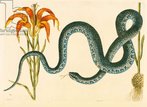 Anguis, the Wampum Snake, plate 58, vol. 1 from the 'Natural History of Carolina, Florida and the Bahamas' (colour litho)