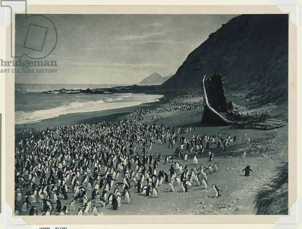 Penguins on the beach at The Nuggets and the remains of The Gratitude, 1910 (carbon photo)