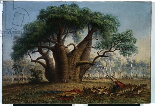 Gouty stem tree, Adansonia Gregorii, 58 feet circumference, near a creek south-east of Stokes Range, Victoria River, 1868 (oil on canvas)