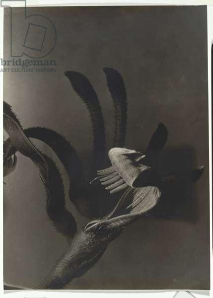 Kangaroo Paw, Perth, c.1939 (gelatin silver photo)