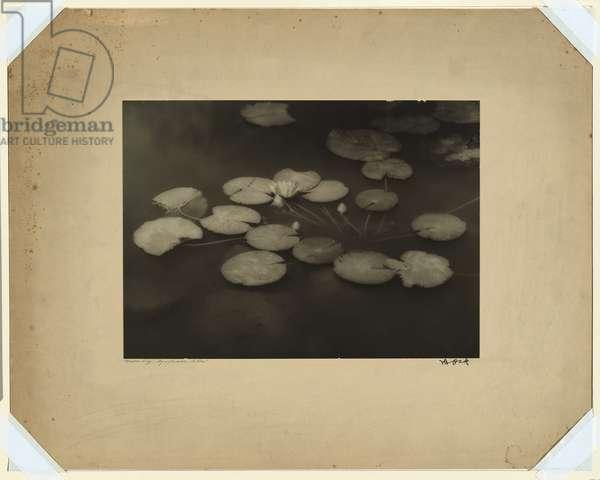 Waterlily, Nymphaea alba, c.1930-35 (gelatin silver photo)