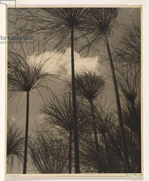 Papyrus, 1938 (gelatin silver photo)